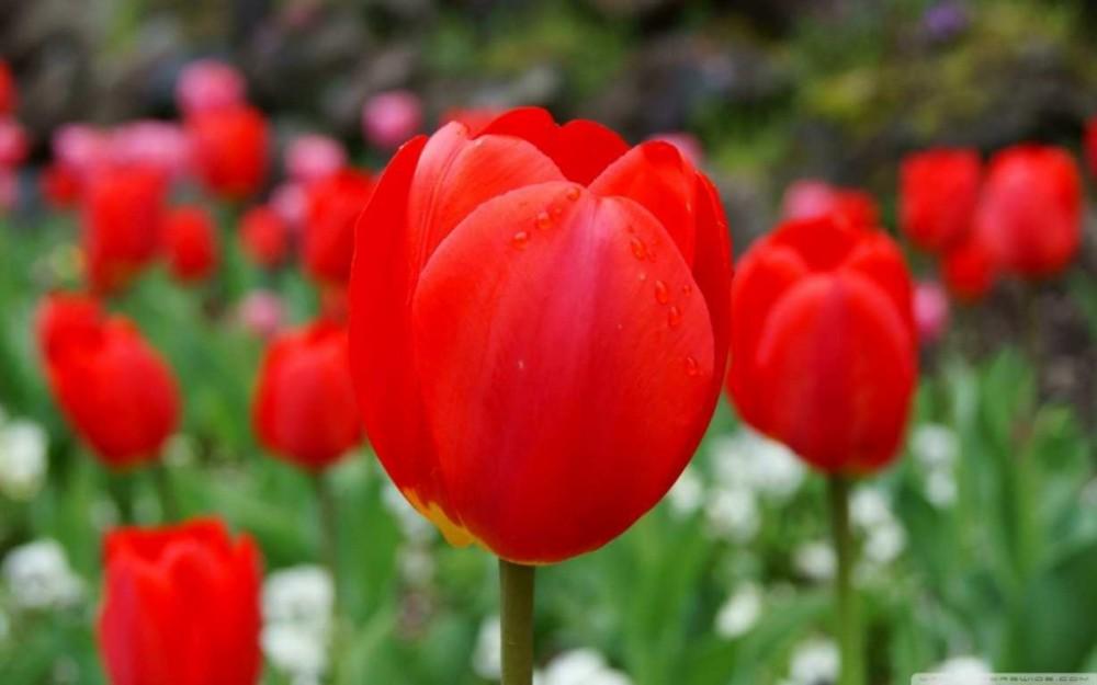 Hoa Tulip Trắng Vẻ Đẹp Rất Riêng Của Đất Nước Hà Lan