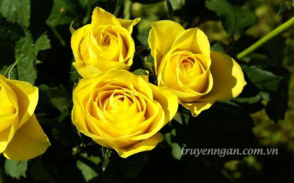 Nụ cười của hoa hồng vàng